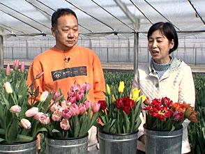 手づくり花づくり #1061「神戸にチューリップの産地が!淡河を訪ねて」
