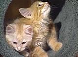 猫、大好き! メインクーンはこんな猫