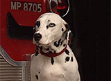 犬、大好き! ニューヨークの伝統 消防犬ダルメシアン