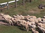 ひつじがすき がんばれ!牧羊犬