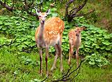知床・原始の森の動物たち