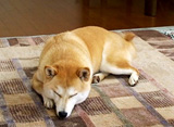 柴犬のチコ。 チコが寝た後でママのお楽しみ…