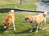 柴犬のチコ。 オヤツの大きさ紛争勃発!