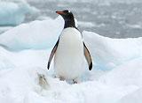ペンギン・シアター ジェンツーペンギン