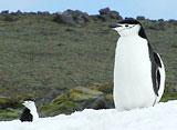 ペンギン・シアター ヒゲペンギン