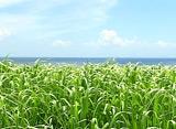 沖縄♪BestEssence/さとうきび畑