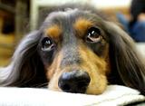 愛犬とハッピーに長生きするレシピ ダックスフンド