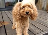 愛犬とハッピーに長生きするレシピ トイプードル