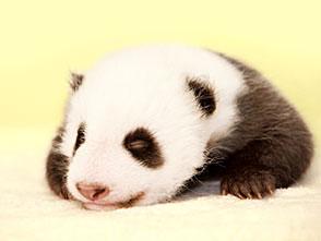 51(ウーイー)世界一小さく生まれたパンダ