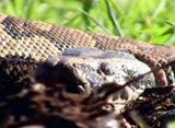 恐怖の人喰いヘビ