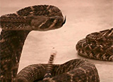 ガラガラヘビの棲む町