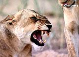 アフリカ動物王国のスーパー7