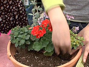 手づくり花づくり #968『秋まで楽しむペチュニア』