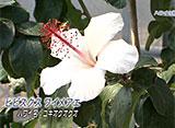 手づくり花づくり #1013『あなたの知らないハワイの植物』