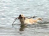 犬、大好き! とってもやんちゃなラブラドールレトリバー