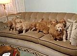 犬、大好き! ゴールデンレトリバーの子犬たち