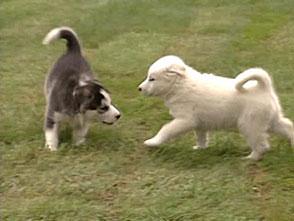 犬、大好き! 幻のカナディアンエスキモー犬
