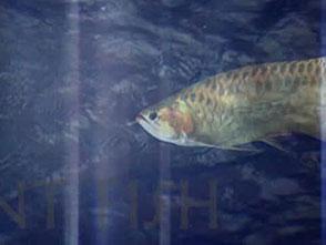 古代魚アクアリウム オープニング