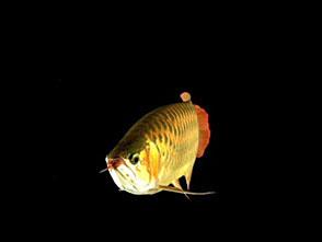 古代魚アクアリウム アジアアロワナ[紅龍]