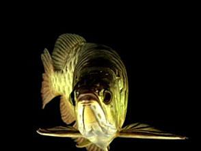 古代魚アクアリウム アジアアロワナ[金龍]