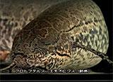 古代魚アクアリウム 肺魚[ネオケラトドゥス/プロトプテルス・エチオピクス]