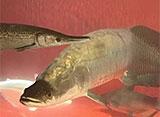 古代魚アクアリウム ピラルク/アジアアロワナ[青龍]/シルバーアロワナ/アリゲーター・ガー/マンファリ