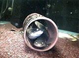 古代魚アクアリウム 水中CCD撮影 ポリプテルス/レピドシレン・パラドクサ(肺魚)