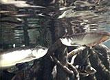 古代魚アクアリウム 水中CCD撮影 ピラルク/シルバーアロワナ