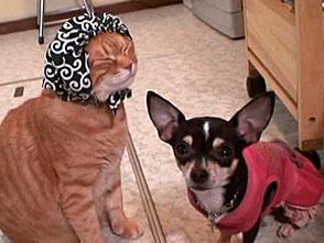チワトラ!☆チワワとトラ猫 チワトラ・ショートムービー