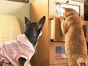 チワトラ!☆チワワとトラ猫 エピローグ&おまけでち!