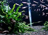 熱帯魚映像図鑑 コイの仲間(17種)