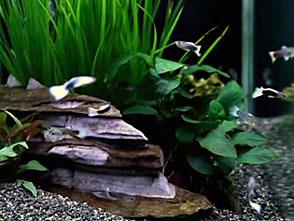 熱帯魚映像図鑑 メダカの仲間(12種)