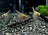 熱帯魚映像図鑑 シクリッドの仲間(12種)
