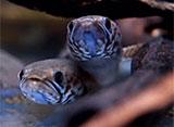 熱帯魚映像図鑑 アナバスの仲間(9種)