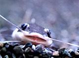 熱帯魚映像図鑑 ナマズの仲間(14種)