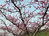 花名所百景 桃の花/笛吹市桃の花まつり(山梨)