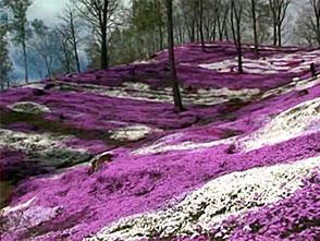 花名所百景 芝桜/藻琴山温泉芝桜公園(北海道)