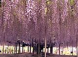 花名所百景 藤/あしかがフラワーパーク(栃木)