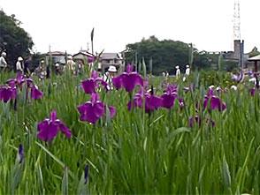 花名所百景 花菖蒲/北山公園(東京)