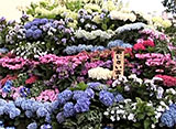 花名所百景 紫陽花/白山神社(東京)