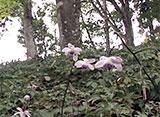 花名所百景 レンゲショウマ/御岳山(東京)