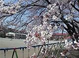 卒業桜 鹿沼市立北小学校(栃木)