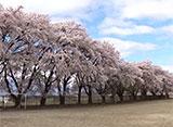 卒業桜 三代校舎ふれあいの里(山梨)