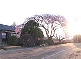 卒業桜 旧山本中学校 杵原校舎(長野)