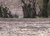 さくら百景 エンディング 〜春風の舞