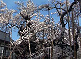 さくら 名所名木を訪ねて 山高神代桜(山梨)