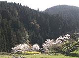 さくら 名所名木を訪ねて 根尾谷淡墨桜(岐阜)