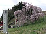 さくら 名所名木を訪ねて 三春滝桜(福島)