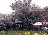 さくら 名所名木を訪ねて 狩宿の下馬桜(静岡)