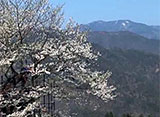 さくら 名所名木を訪ねて 樽見の大桜(兵庫)